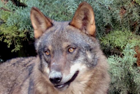Congreso Internacional Sobre Gestión Y Conservación Del Lobo En